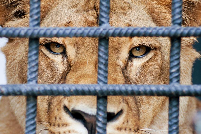בכלוב האריות
